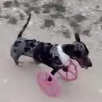 3D-печать подарила собаке ноги
