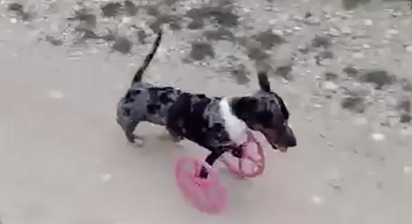 3D wheel dog