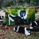 Лемуры смотрят 4К телевизор, чтобы подготовиться к жизни на воле