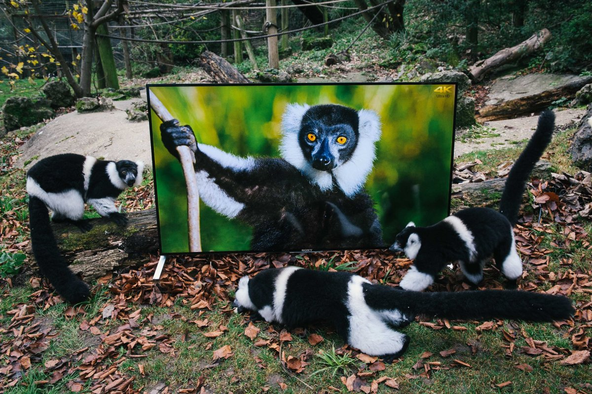 the-port-lympne-reserve-introduced-sony-bravia-4k-tvs-into-lemur-and-langur-enclosures-this-week-the-images-are-four-times-the-clarity-of-hd-tvs