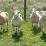 4 клона овечки Долли